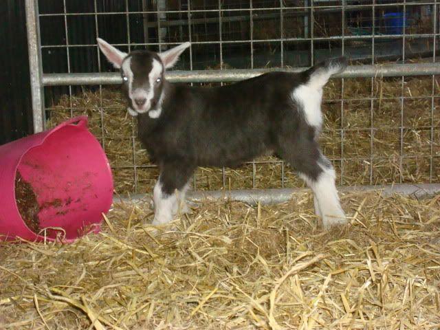 Goat Kids 2010 DSC00782
