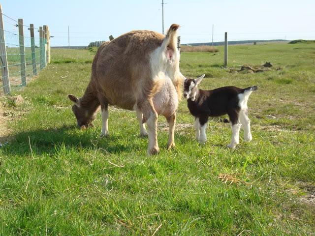 Goat Kids 2010 DSC00784