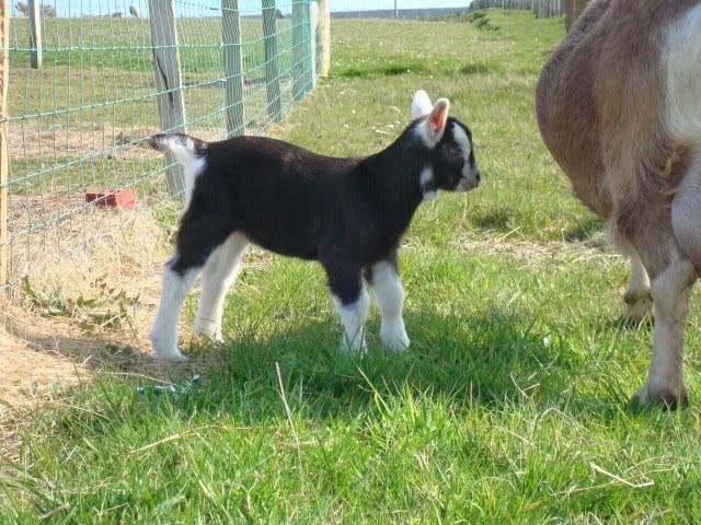 Goat Kids 2010 DSC00785