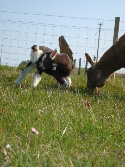 Goat Kids 2010 DSC00788