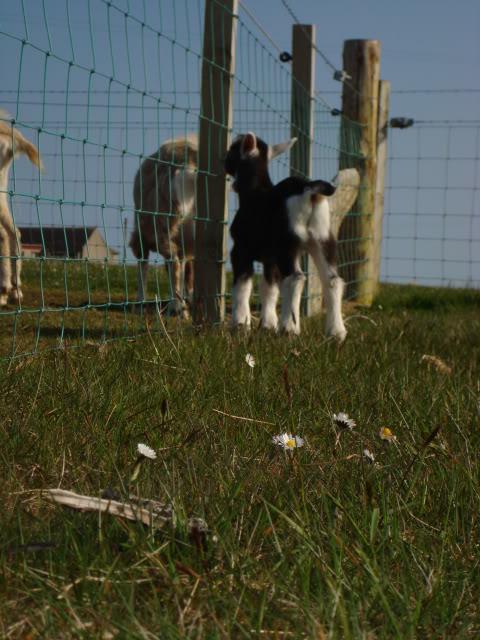 Goat Kids 2010 DSC00789