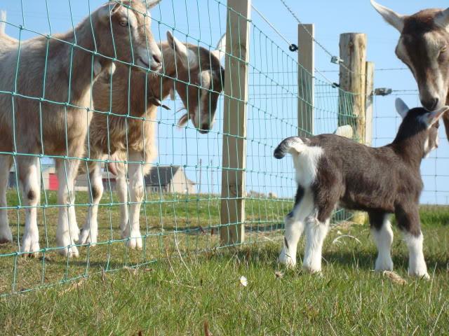 Goat Kids 2010 DSC00790