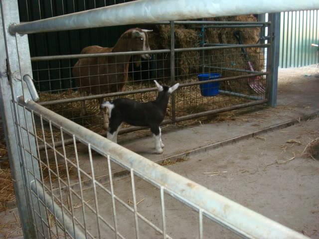 Goat Kids 2010 DSC00800