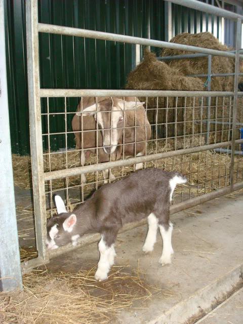 Goat Kids 2010 DSC00801