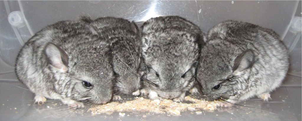 Chinchillas Picture600