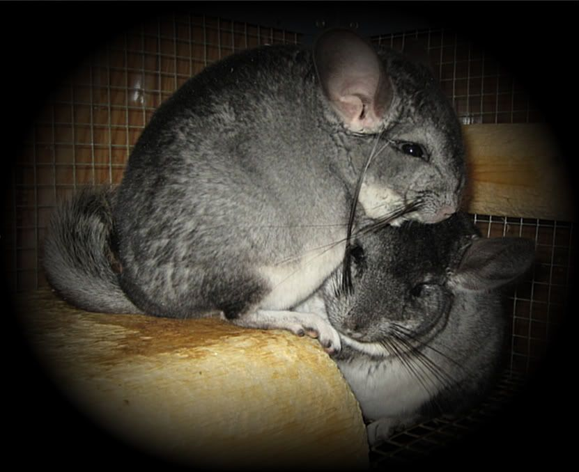 Chinchillas Picture711