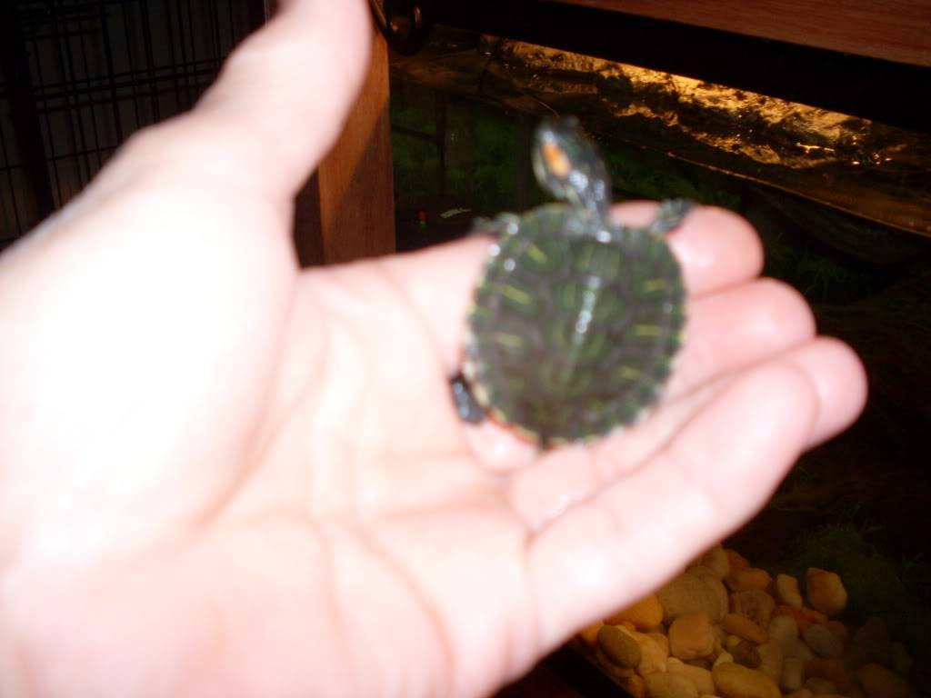 pictures of my yellow belly slider turtle Picture340