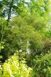 Alnus glutinosa 'imperialis' Th_file_zps030ca680