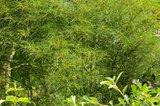 Alnus glutinosa 'imperialis' Th_file_zps1f027688