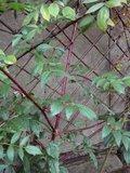 Les belles écorces . Par rebelle Th_Rubuscoreana