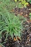 "Carex coureur. Carex morrowii ""Silver Sceptre"" Th__DSC0003"
