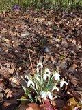 Perce-neige rose Th_aa797524