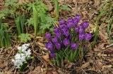 En attendant l'été,  et sa profusion de fleurs..  les bulbes Th_2e56499d