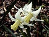 Narcissus romeuxii Th_f318a131
