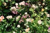 rosier vraiment rampant Th__DSC0013