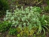 Salix magnifica Th_Salixhelvetica1