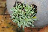 Plante tapissante à identifier Th_DSC_0023