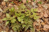Corydalis quantmeyerana 'Chocolate Star' et Thalictrum adiantoides Th_52e2b9e0