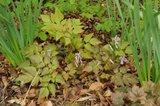 Corydalis quantmeyerana 'Chocolate Star' et Thalictrum adiantoides Th_668c2966