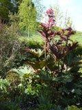 Rheum palmatum Th_faabd82a