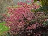 A qui appartiennent ces belles couleurs d'automne? Th_Euonymus-alatus-compactus