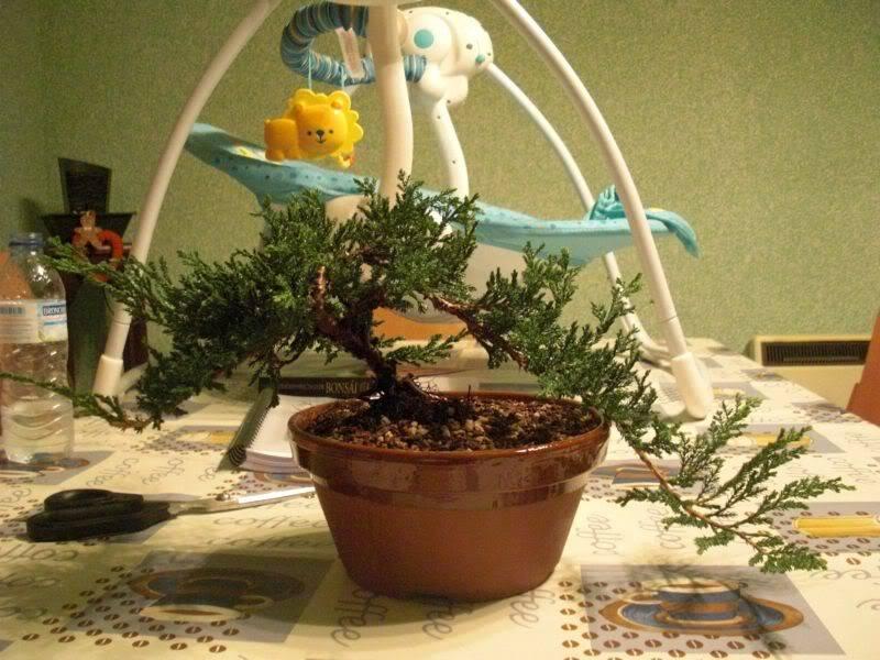Mis primero Pre-Bonsai o Plantones mas bien CIMG0011-1