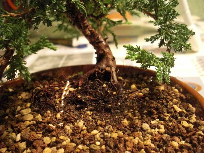Mis primero Pre-Bonsai o Plantones mas bien CIMG0012-1