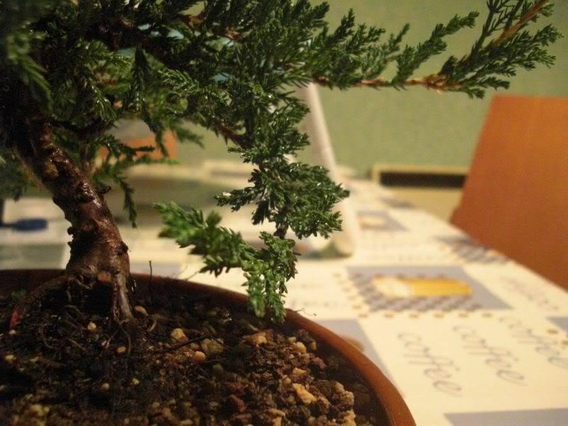 Mis primero Pre-Bonsai o Plantones mas bien CIMG0013-1