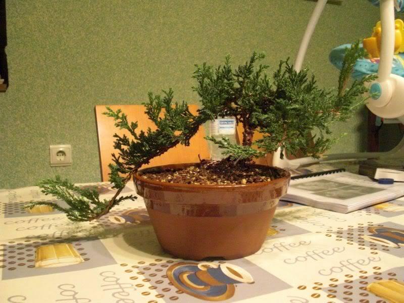 Mis primero Pre-Bonsai o Plantones mas bien CIMG0014-1