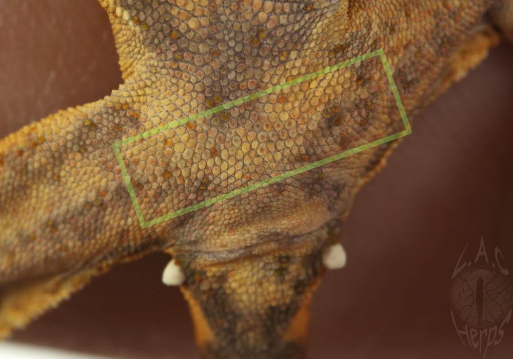 [Fiche] Correlophus ciliatus 4grammalecrested