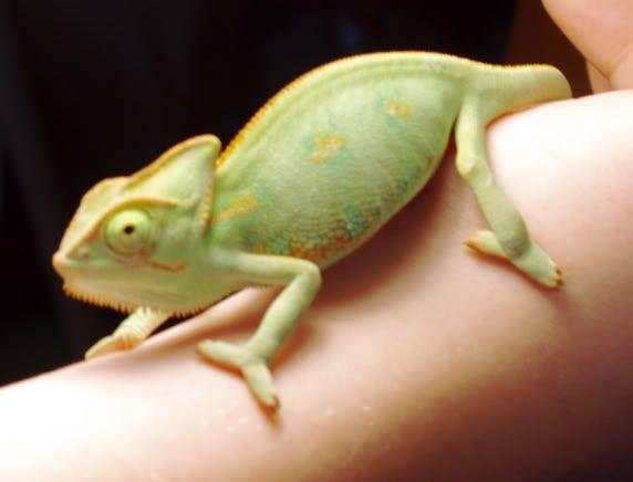 Anyone have Reptiles? Chameleon-1