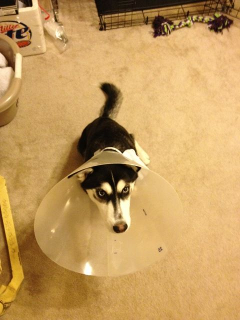 Mia is spayed!  A60ffca4