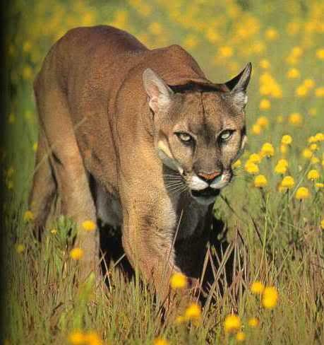 Slike životinja - Page 3 Mountain-lion-reports