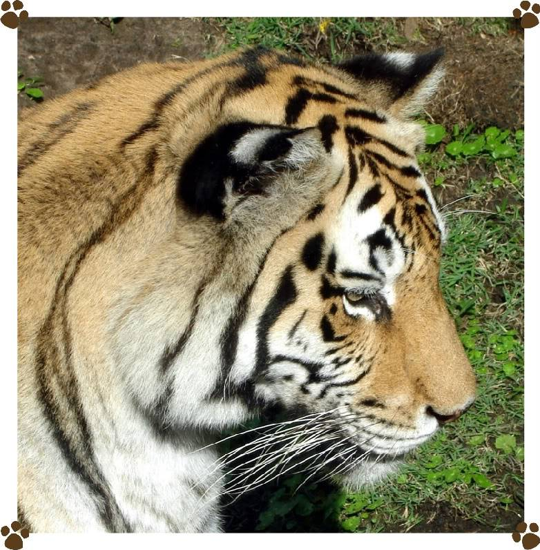 Disney Parks Picture of the Day - Page 4 Tiger2-1