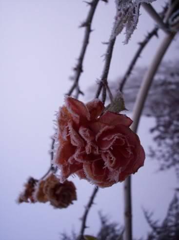 Et la photo dans tout cela... Frozenrose