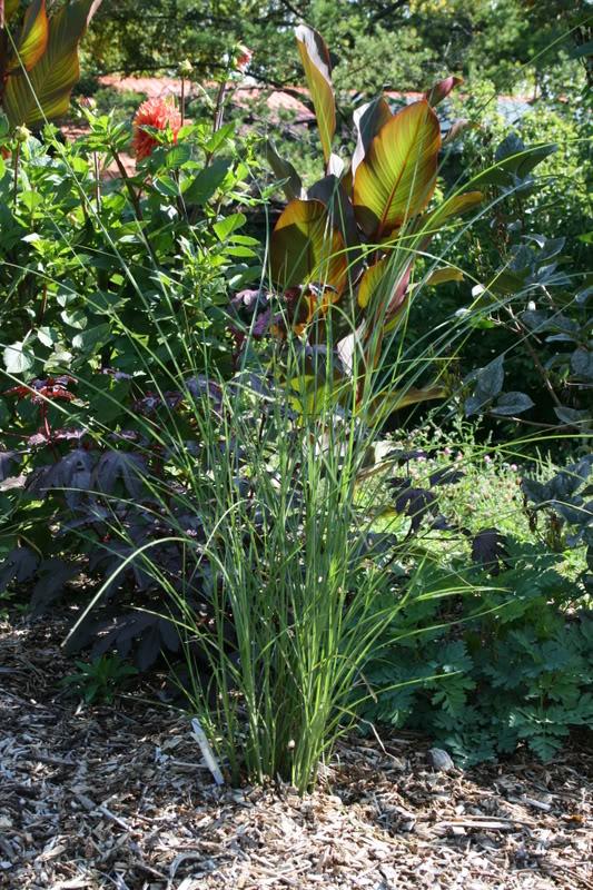 """Miscanthus sinensis """"Gracillimus"""" 10septembre2007036"""