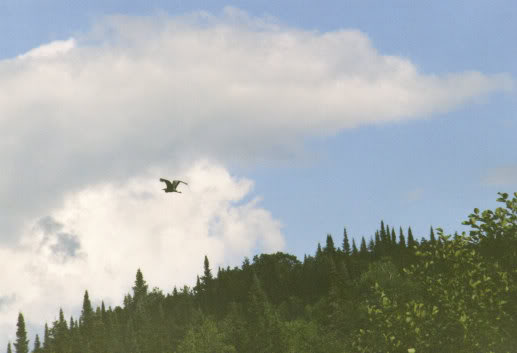 Le Grand Heron - drole de bipede ca ! IMG_0001