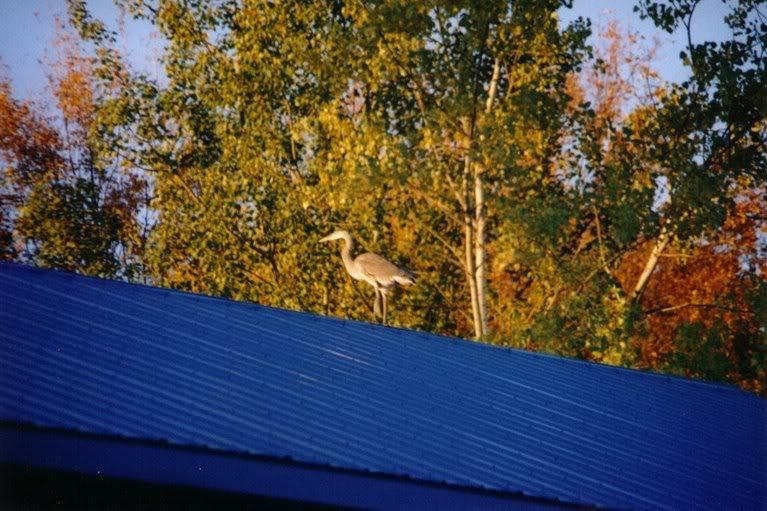 Le Grand Heron - drole de bipede ca ! IMG_0011
