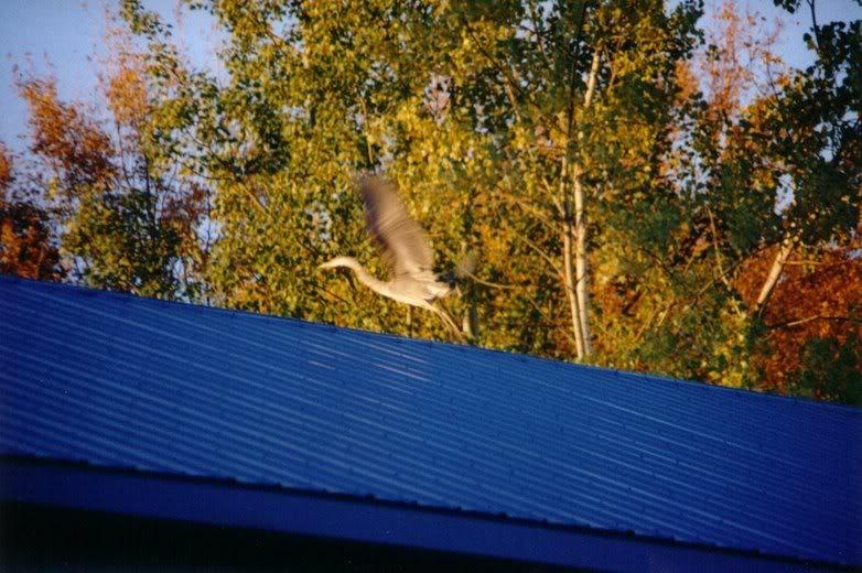 Le Grand Heron - drole de bipede ca ! IMG_0012