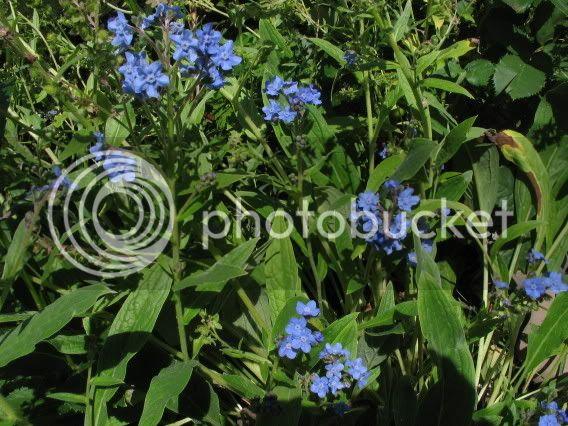 Cynoglossum officinale Pierre-Olivier22aot2006010