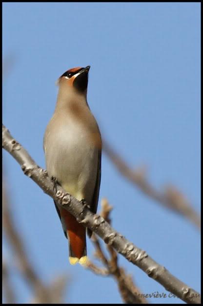 Ma saison de photo d'oiseaux est ouverte! IMG_0315