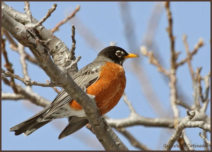 Ma saison de photo d'oiseaux est ouverte! IMG_0330