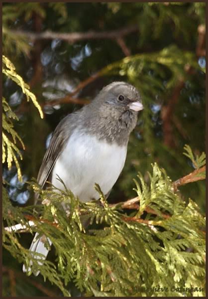 Ma saison de photo d'oiseaux est ouverte! IMG_0353