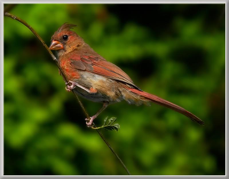 Le Cardinal Rouge 39287637juvnileric