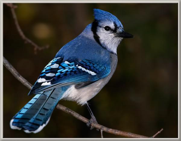 Le Geai Bleu 39297788geaibleuricCt