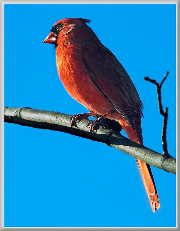 Le Cardinal Rouge 39297789cardinalric