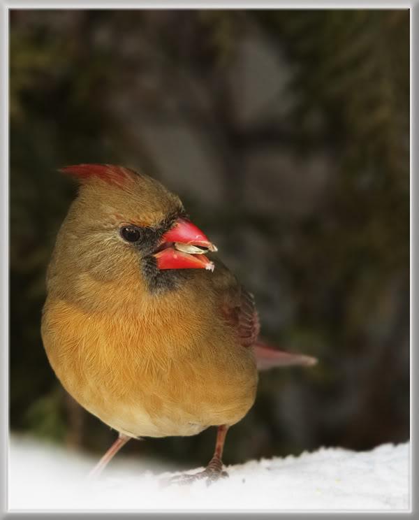 Le Cardinal Rouge 39297790cardinalfemelle