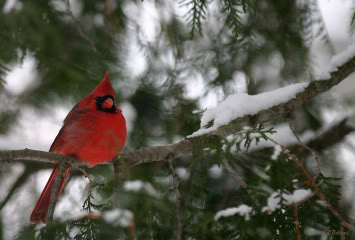 Le Cardinal Rouge 39903314cardinalJRBibeau