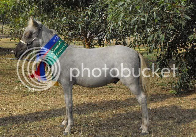 Gorgeous Silver Taffy Colt, Very Quiet YLHotrodHumphreyCessnockwins