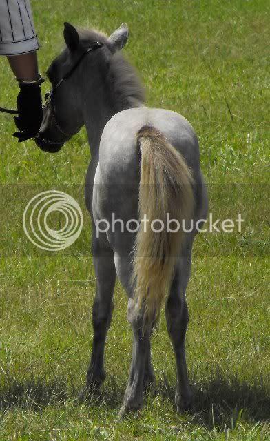 Gorgeous Silver Taffy Colt, Very Quiet Humphreycessnockshow